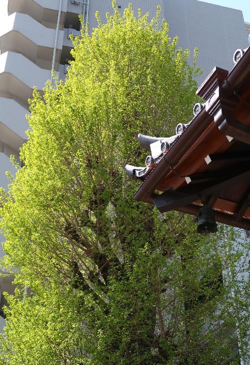 銀杏の大木とお墓、甍を見る